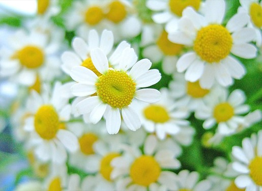 white daisy flower, Beautiful flower
