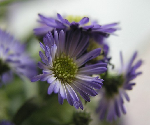 Purple Daisy Flower: Small Purple Daisy Flower.jpg