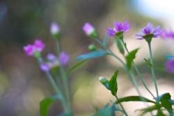 small purple daisies.jpg