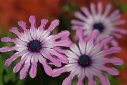 small daisy flowers images.jpg