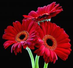 rich red daisy flowers.jpg