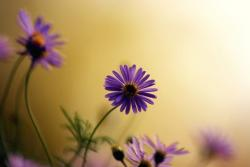 rich purple small daisy flower image.jpg