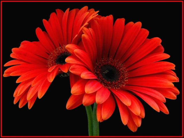 rich orange red daisies.jpg