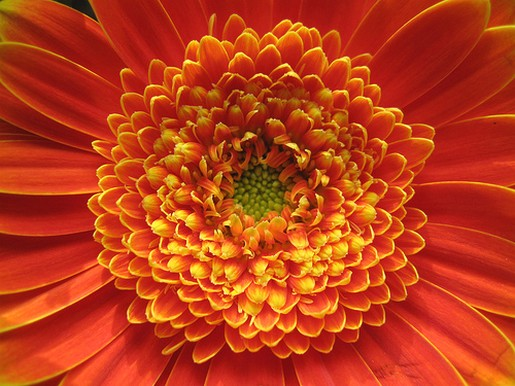 rich orange daisy flower image.jpg