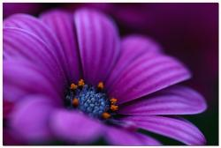rich dark purple daisy.jpg
