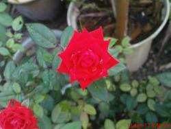 power red rose