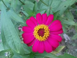 pink red daisy