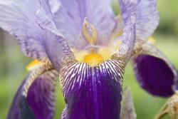 unique iris flower picture.jpg