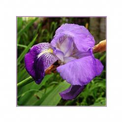 three color iris flower.jpg