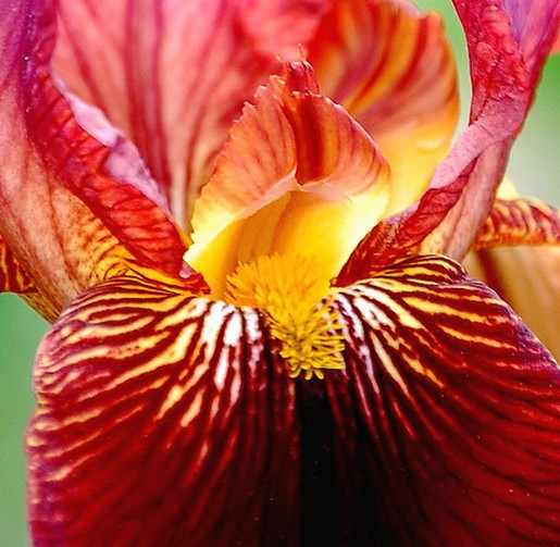 red iris flower  comment, Natural flower