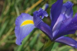 purplish blue iris flower.jpg