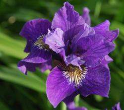 purple wedding flowers Iris.jpg
