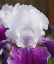purple and white iris flower.jpg