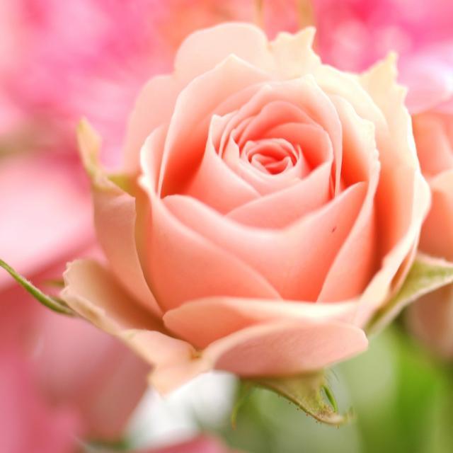 Peach 1 comment hi res 720p hd - Peach rose wallpaper ...