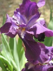 photo Iris flower in summer heat.jpg