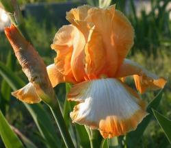 orange white iris flowers.jpg