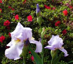 light purple iris with yellow center.jpg