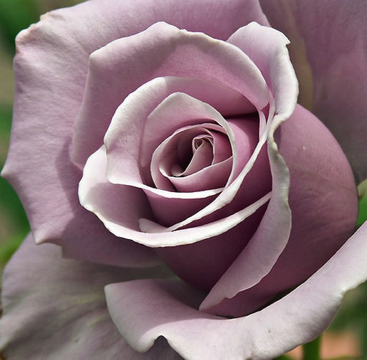 purple rose.jpg (1 comment)  One