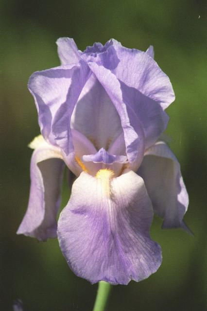 light purple Iris flower.jpg