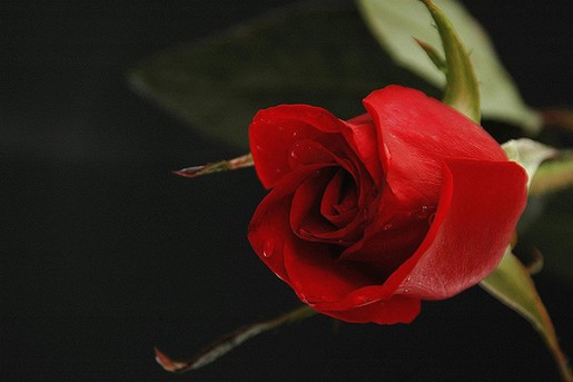 pretty red rose  comment, Beautiful flower