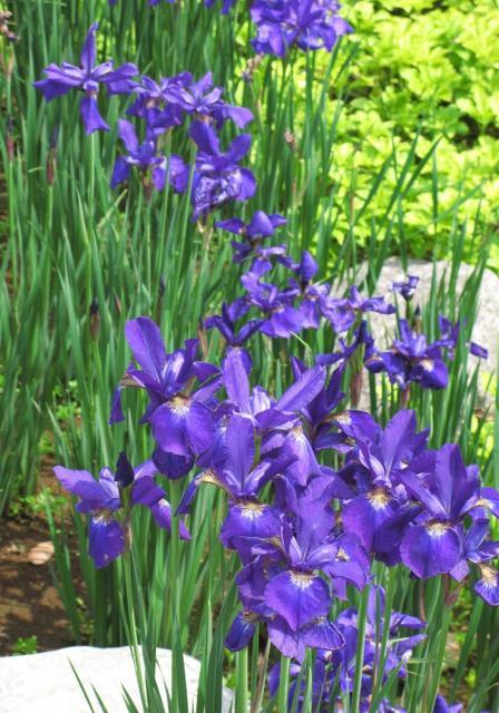 Iris Sanguinea Picture Jpg Hi