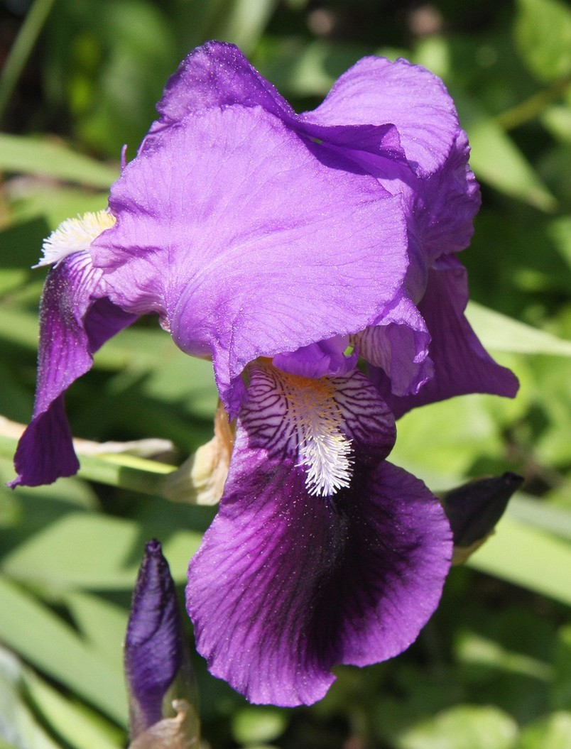 iris flowers in purple with yellow and white.jpg