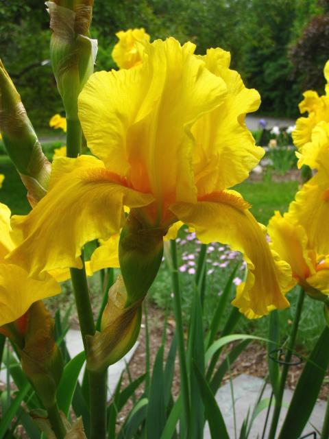 yellow flag iris scientific name iris pseudacorus location europe, Beautiful flower