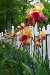 field of red and orange Iris flowers.jpg