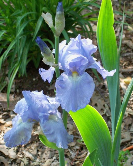 Dutch Iris Garden Flowers