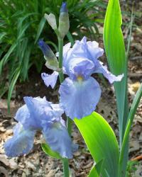 Dutch iris garden flowers.jpg