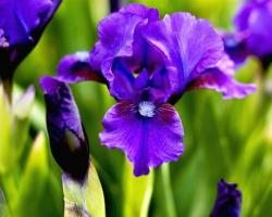 dark purple iris flowers in nature.jpg