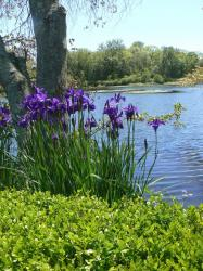 dark purple iris flowers at palm.jpg