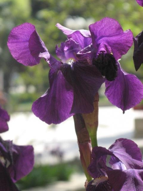 dark Iris flowers photo.jpg