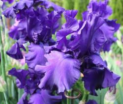 dark Dutch Iris pic.jpg