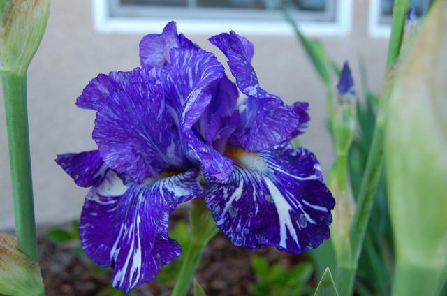 dark blue iris flower in naturejpg