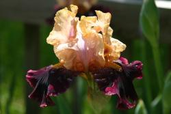 colorful iris flowers picture.jpg
