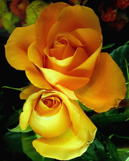 two yellow roses.jpg
