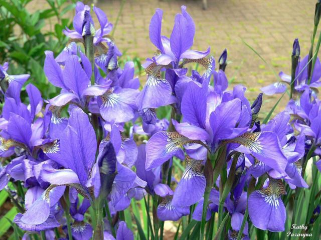 gallery for blue iris flowers. Black Bedroom Furniture Sets. Home Design Ideas