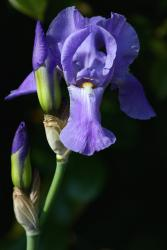 blue iris flower with its buds.jpg