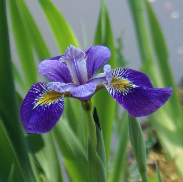 iris flower pictures  photos, Beautiful flower