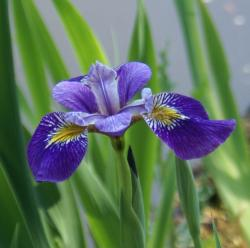 beautiful iris flowers in nature.jpg