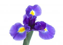beautiful iris flower.jpg