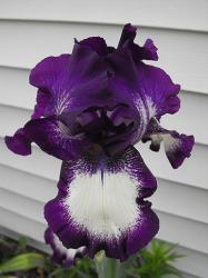 Bearded Iris in purple and white.jpg