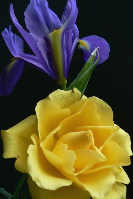 yellow rose and blue iris flowerjpg