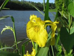 Yellow Iris next to a river.jpg
