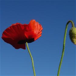 photo of flowers poppy.jpg