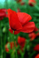 red poppy flowers in field.jpg