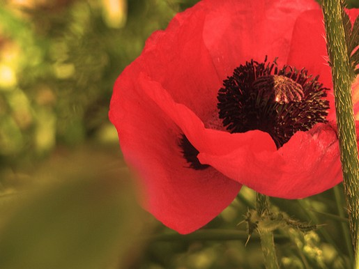 red poppy flower.jpg