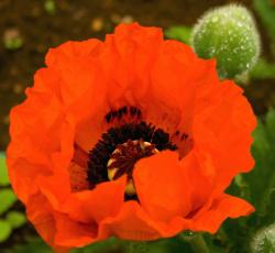 red poppy flower pic.jpg