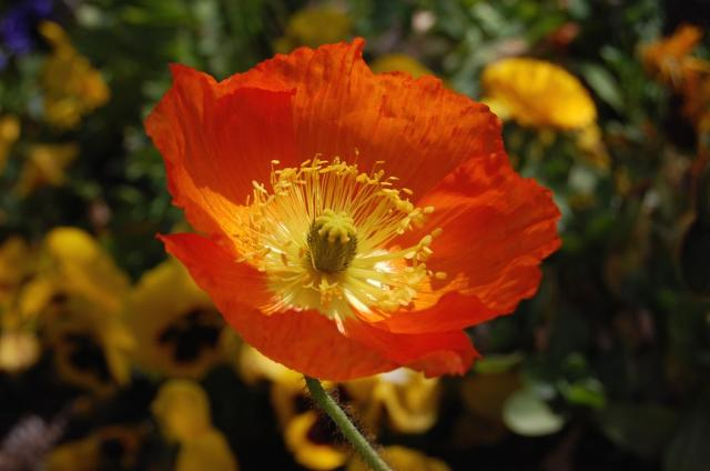 red poppies with yellow center picture.jpg